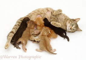 Tabby mother cat suckling her kittens