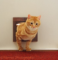 Ginger cat coming through the cat flap