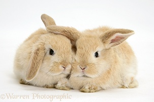 Baby sandy Lop rabbits