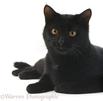 Black male cat