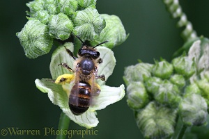 Solitary bee on bryony