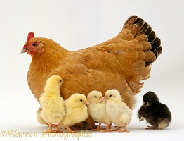 Buff Orphington Chicken and chicks