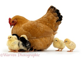 Buff bantam hen with chicks, 2 days old