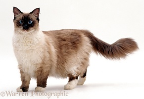 Ragdoll x Birman male cat