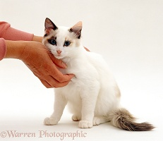 Seal-and-white female Ragdoll-cross kitten being stroked