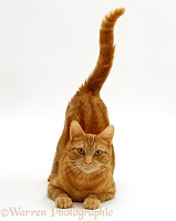 Ginger tabby female cat with tail up