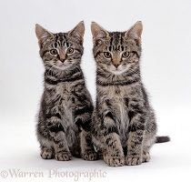 Silver tabby male and female kittens, 8 weeks old