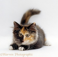 Longhair tortoiseshell-and-white kitten