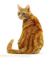 Ginger cat sitting looking round over shoulder