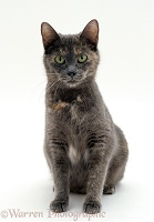 Grey and tortoiseshell cat