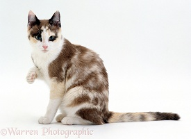 Chocolate-tortoiseshell-and-white cat