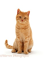 Ginger British shorthair male cat