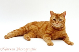 Ginger female cat