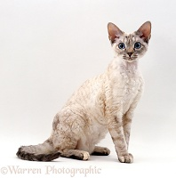 Devon Si-Rex female cat
