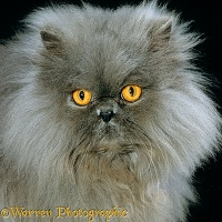 Blue Persian longhair cat