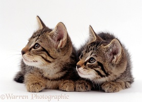 Two Wild Cat kittens