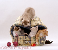 Kittens playing in an igloo bed