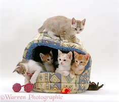 Five kittens, 8 weeks old, in an igloo bed