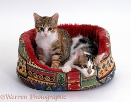 Two Tabby-and-white kittens in an oval cat bed