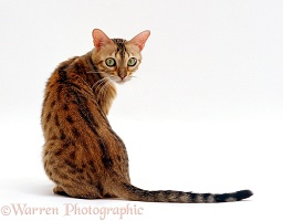 Bengal female cat