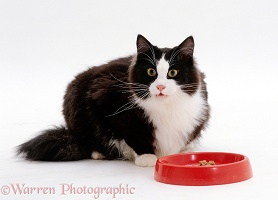 Black-and-white cat glancing up while eating