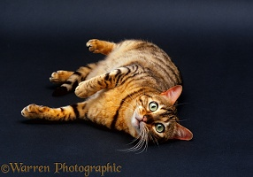 Brown spotted Bengal cat, lying on floor, grey background