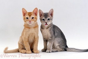 Burmese-cross kittens