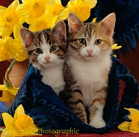 Kittens in blue bag with daffodils