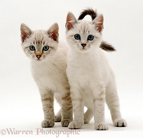 Blue-eyed Sepia snow Bengal-cross kittens
