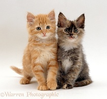 Two fluffy tortoiseshell and ginger kittens, 8 weeks old