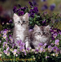 Kittens amongst pansies