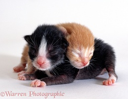 Two kittens, black-and-white and ginger, 1 day old