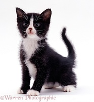 Black-and-white kitten, 6 weeks old