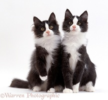 Two black-and-white kittens