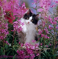 Black-and-white kitten with fireweed flowers