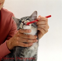 Cleaning the teeth of a kitten