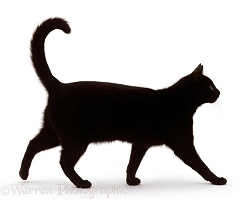 Black short-hair male cat walking profile