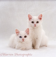 Two white Persian-cross kittens