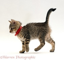 Tabby kitten wearing red flea collar