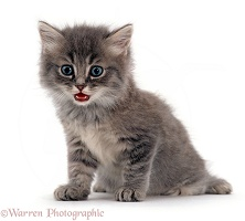 Fluffy grey kitten miaowing