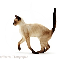Seal point Siamese juvenile cat running across
