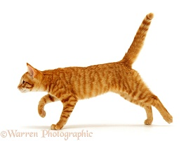 Ginger cat running