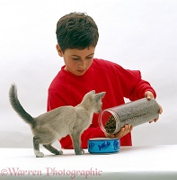 Boy feeding dried catfood to Lilac Tonkinese kitten