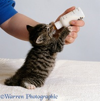 Tabby kitten feeding from a bottle