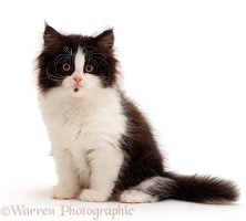 Black-and-white Persian kitten