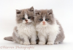 Two Persian cross lilac bicolour kittens, 9 weeks old