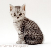 Silver tabby male kitten, 6 weeks old, sitting