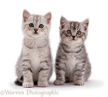 Two Silver tabby kittens