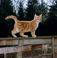 Ginger kitten standing on a garden fence