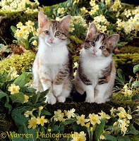Bicolour tabby kittens among yellow primroses